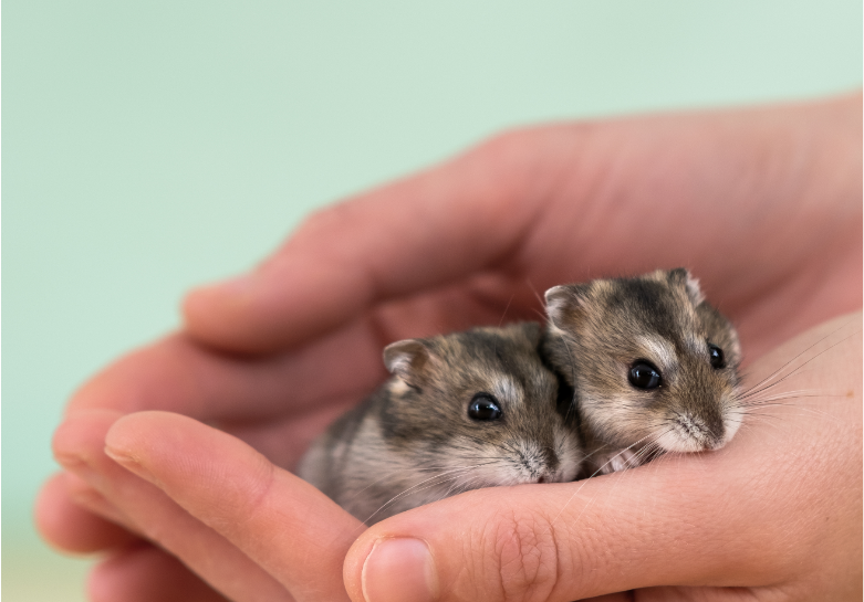 When Do Baby Hamsters Stop Drinking Milk