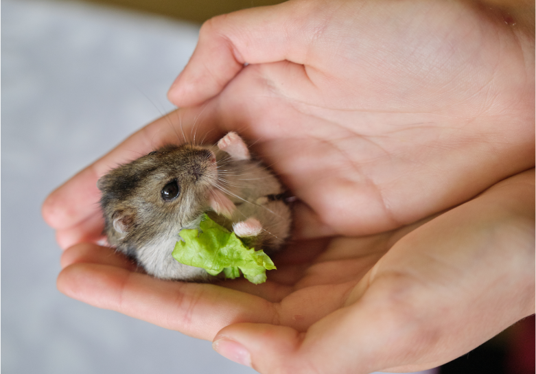 When Can You Touch Baby Hamsters