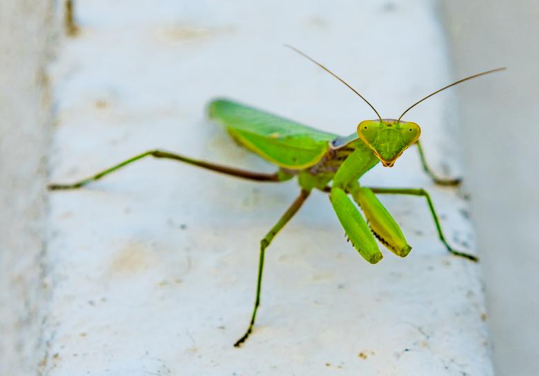 Why do Praying Mantis Sway