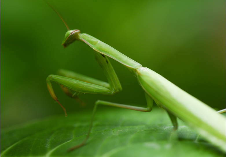 How to Tell if a Praying Mantis is Dying