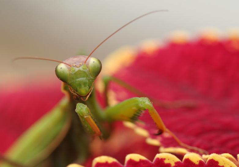 Do Praying Mantis Eat Ants?