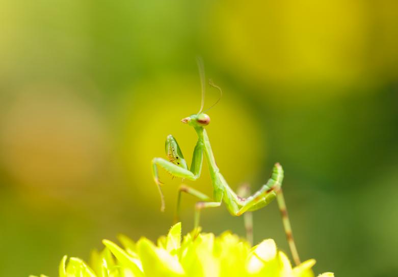 baby green praying mantis