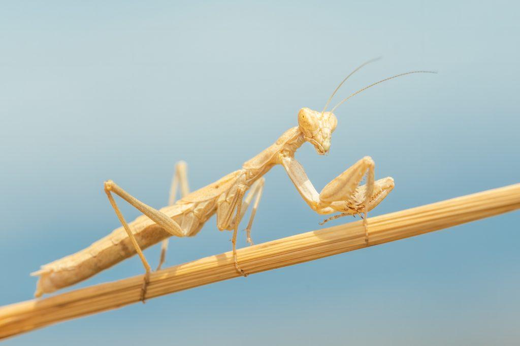 Do Praying Mantis Shed Their Skin?