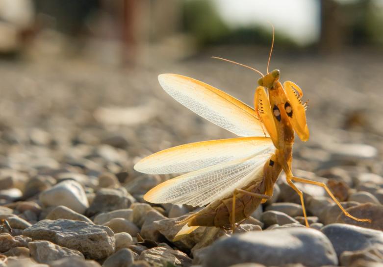 Do Praying Mantis Fly?