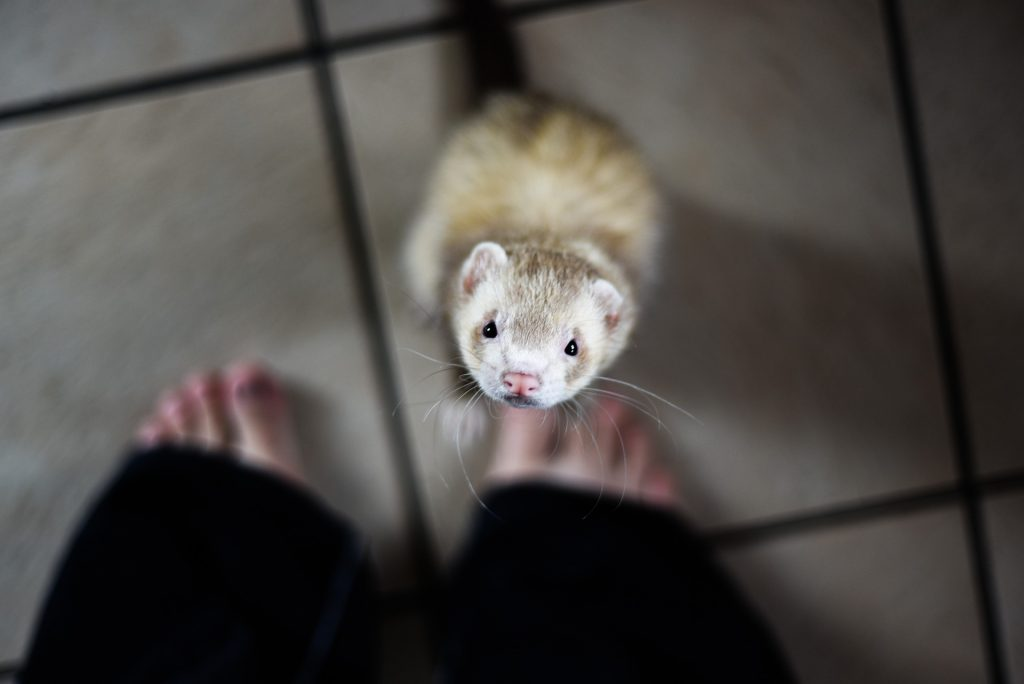 Can ferrets eat almonds