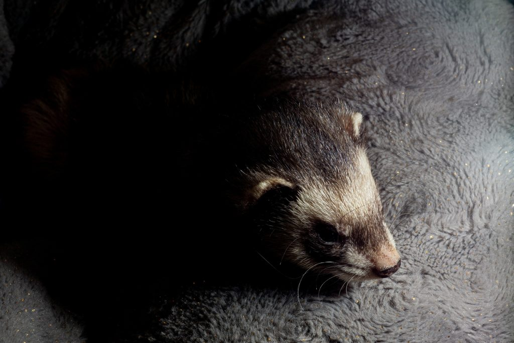 Can ferrets be left alone