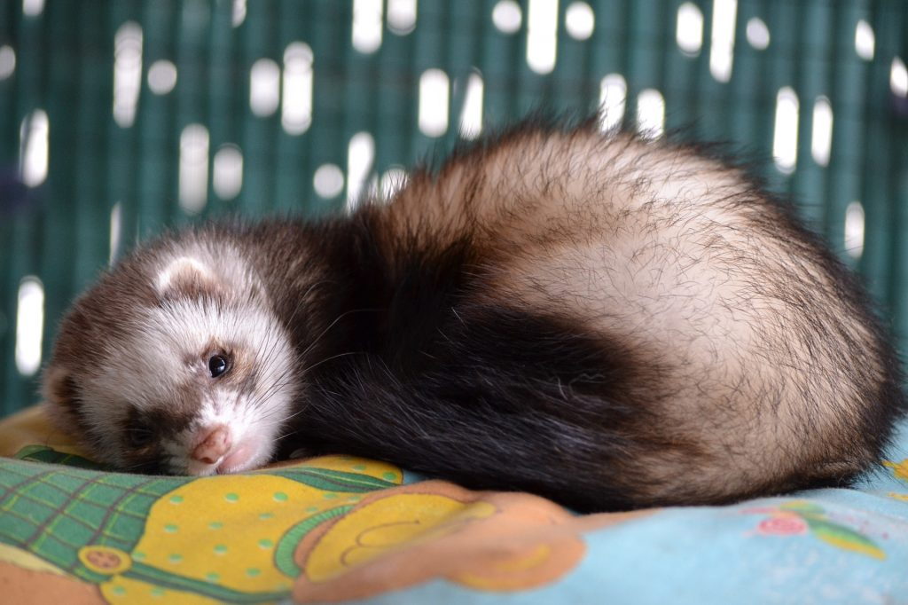 Do Ferrets And Hamsters Get Along
