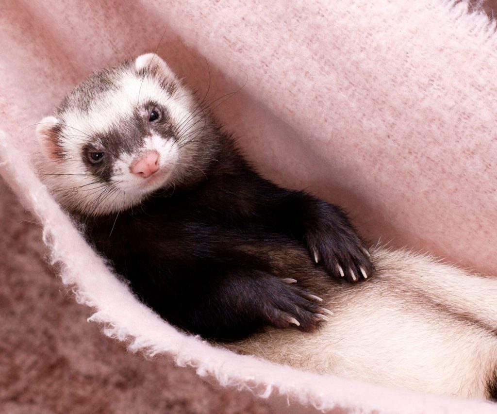 What are Typical Marshall Ferret Health Problems?