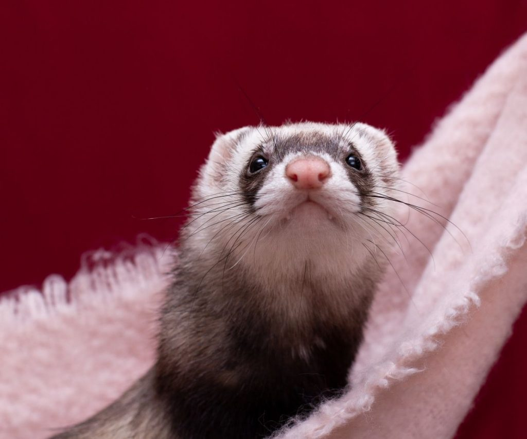 How can You Ensure a Marshall Ferret's Longevity?
