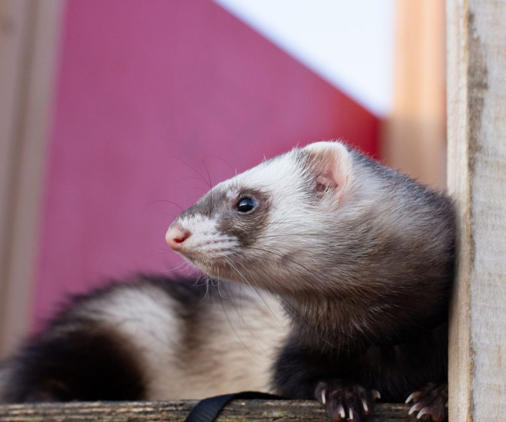 Will ferrets get used to wearing