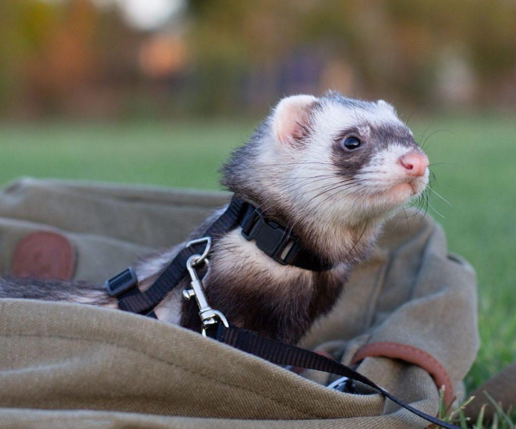 Is it Safe for Your Ferrets to Wear Collars?