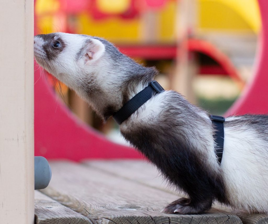 Is there another alternative if the ferret refuses to wear collars?