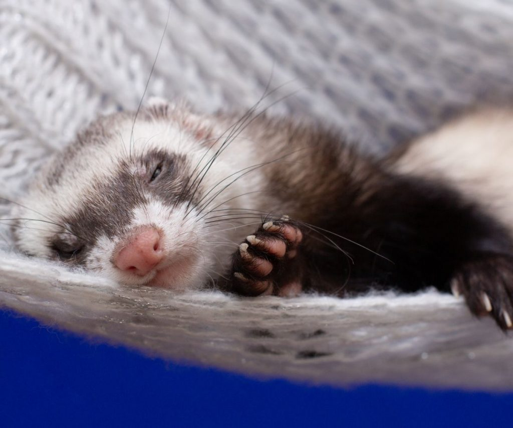How to Know If My Ferret Is Depressed