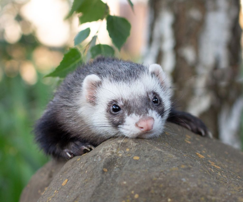 Can Ferrets Die of loneliness?