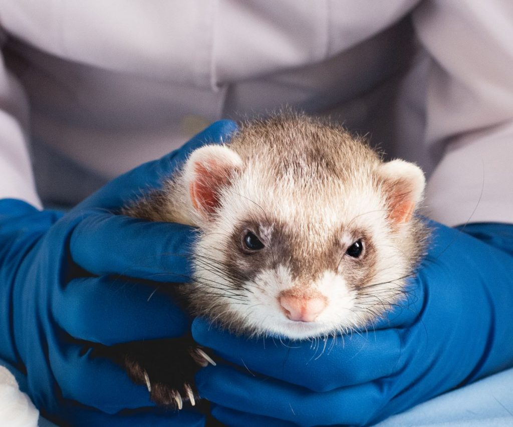 Vet to check ferret depression signs