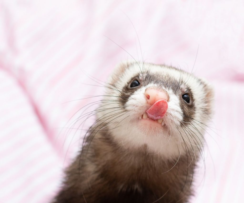 Can Ferrets Get Hiccups