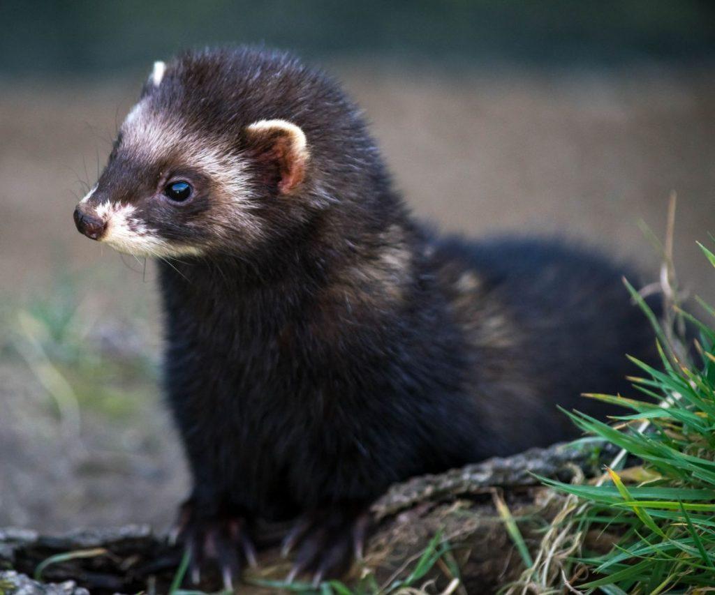 Do Ferrets Need Pee Pads?