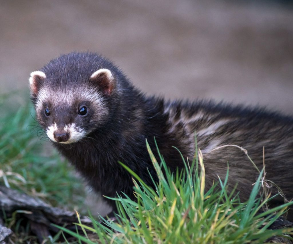 How Do You Train a Ferret to Use a Pee Pad?