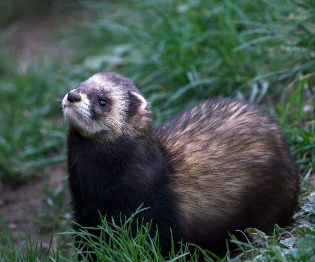 Can Ferrets Use Puppy Pads or Pee Pads