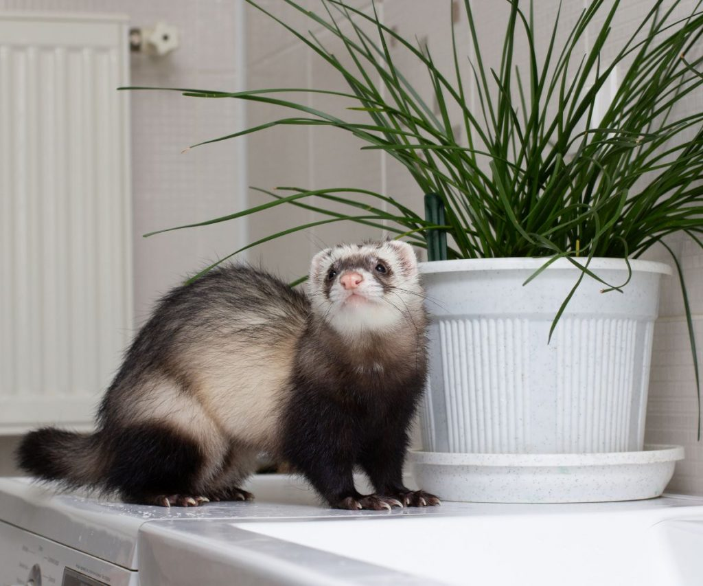 Are Ferret Hiccups Dangerous?