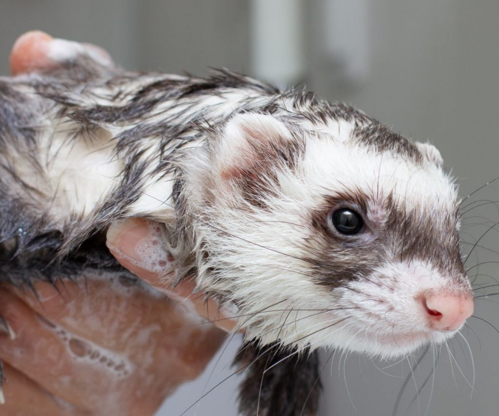 Other Types of Shampoos for Ferrets