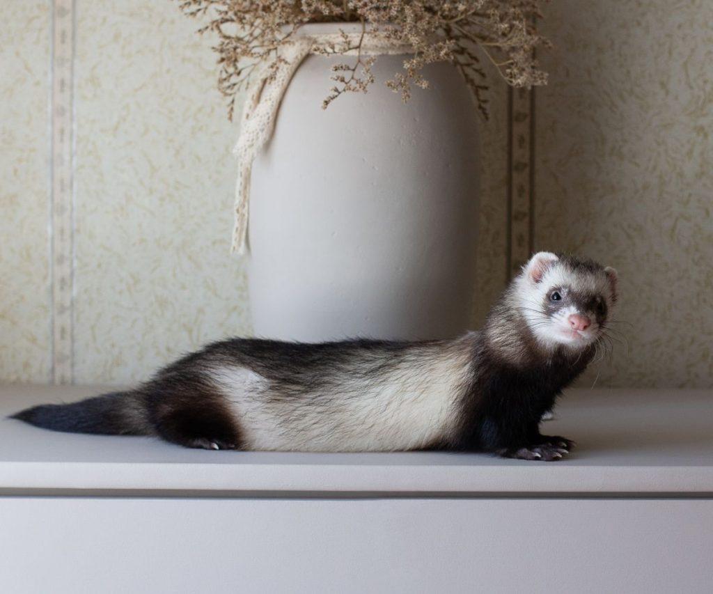 Do Apartments Allow Ferrets