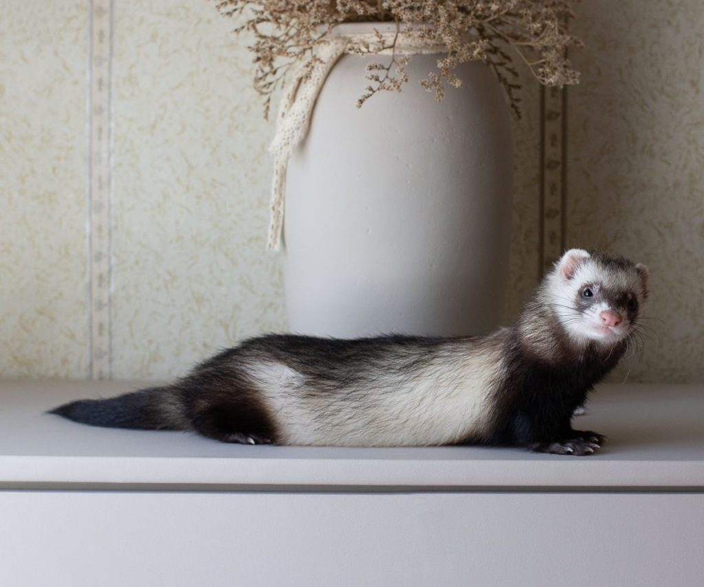 Is It Normal For Ferrets to Hiccup?
