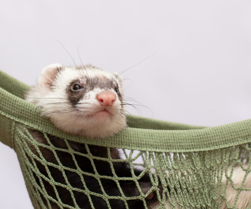 What Do I Do If My Ferret Has Hiccups?