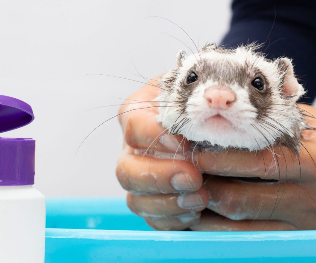 Can You Use Baby Shampoo on Ferrets