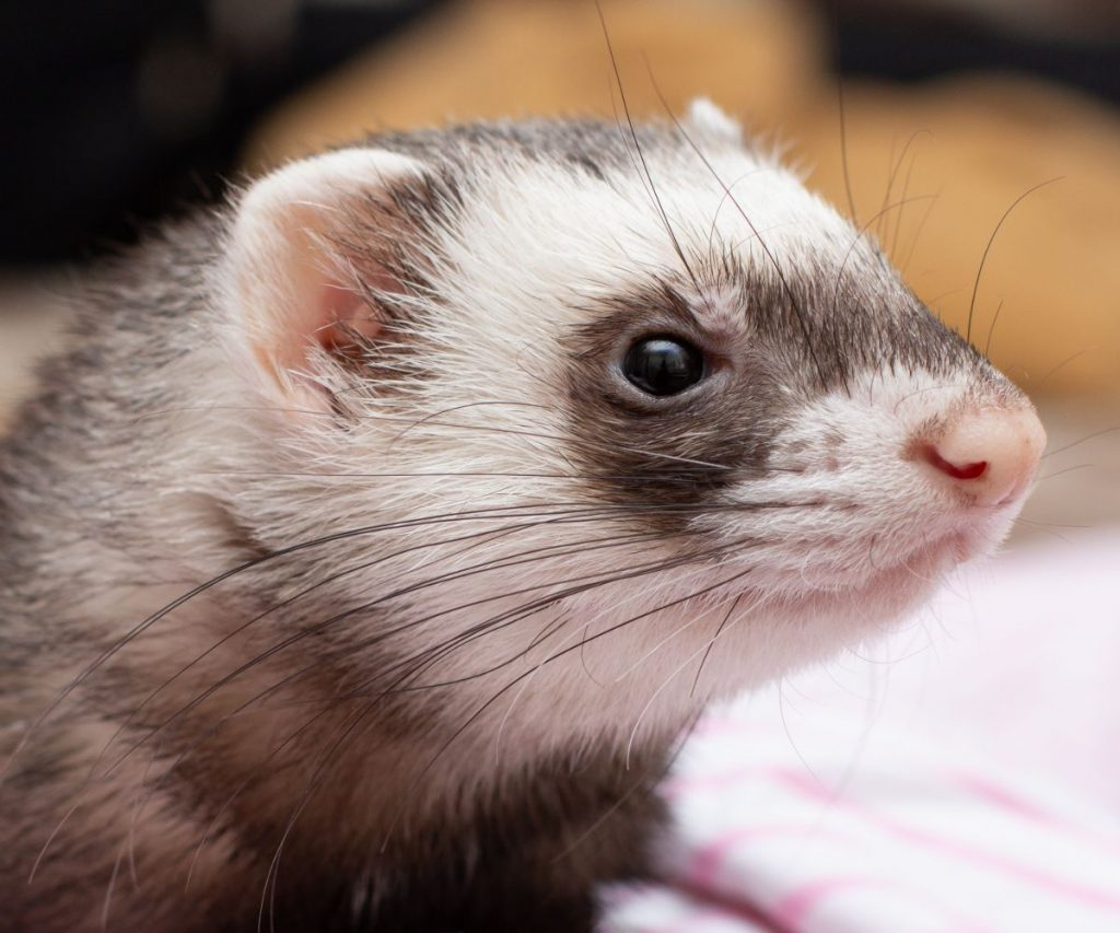 What Causes Ferrets to Hiccup?