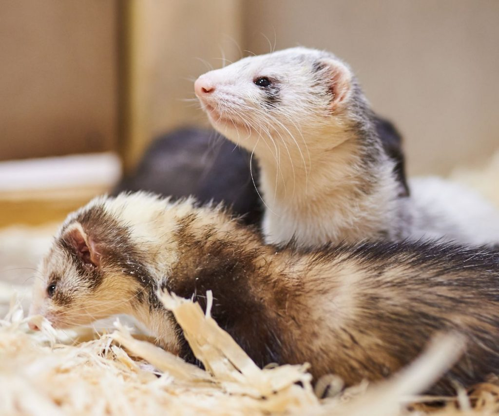 Are Pee Pads Good for Ferrets?